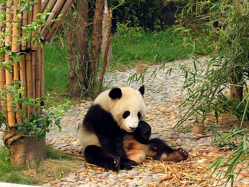 China-Chengdu's-Giant-Panda-Breeding-Research-Base_Wikimedia_Commons